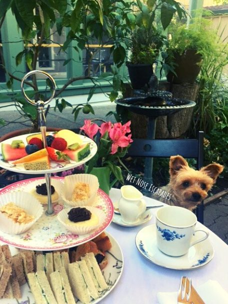 Yorkie Dog at High Tea in Davis, CA