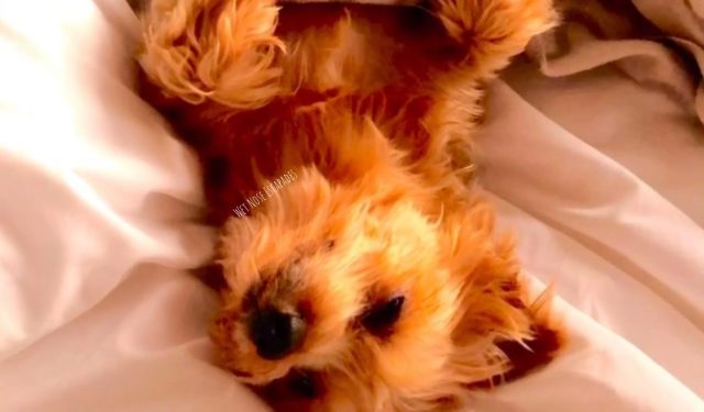 Yorkie Dog sleeping, relaxed - don't hug or hold a Yorkie