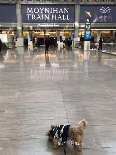 Yorkie Dog Moynihan Hall NYC, Amtrak to Philly