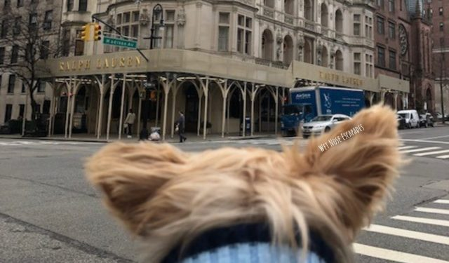 Yorkie dog on Madison Avenue, Upper East Side