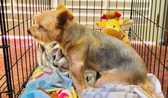 yorkie dog inside a crate, 28 Things People Need to STOP Doing to Dogs IMMEDIATELY