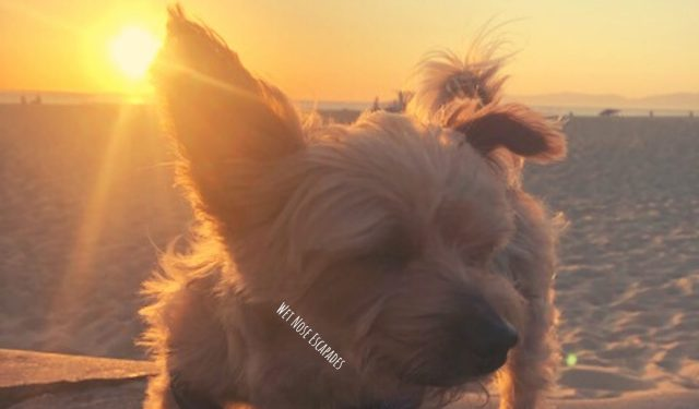 Yorkie dog watching the sunset at Hermosa Beach