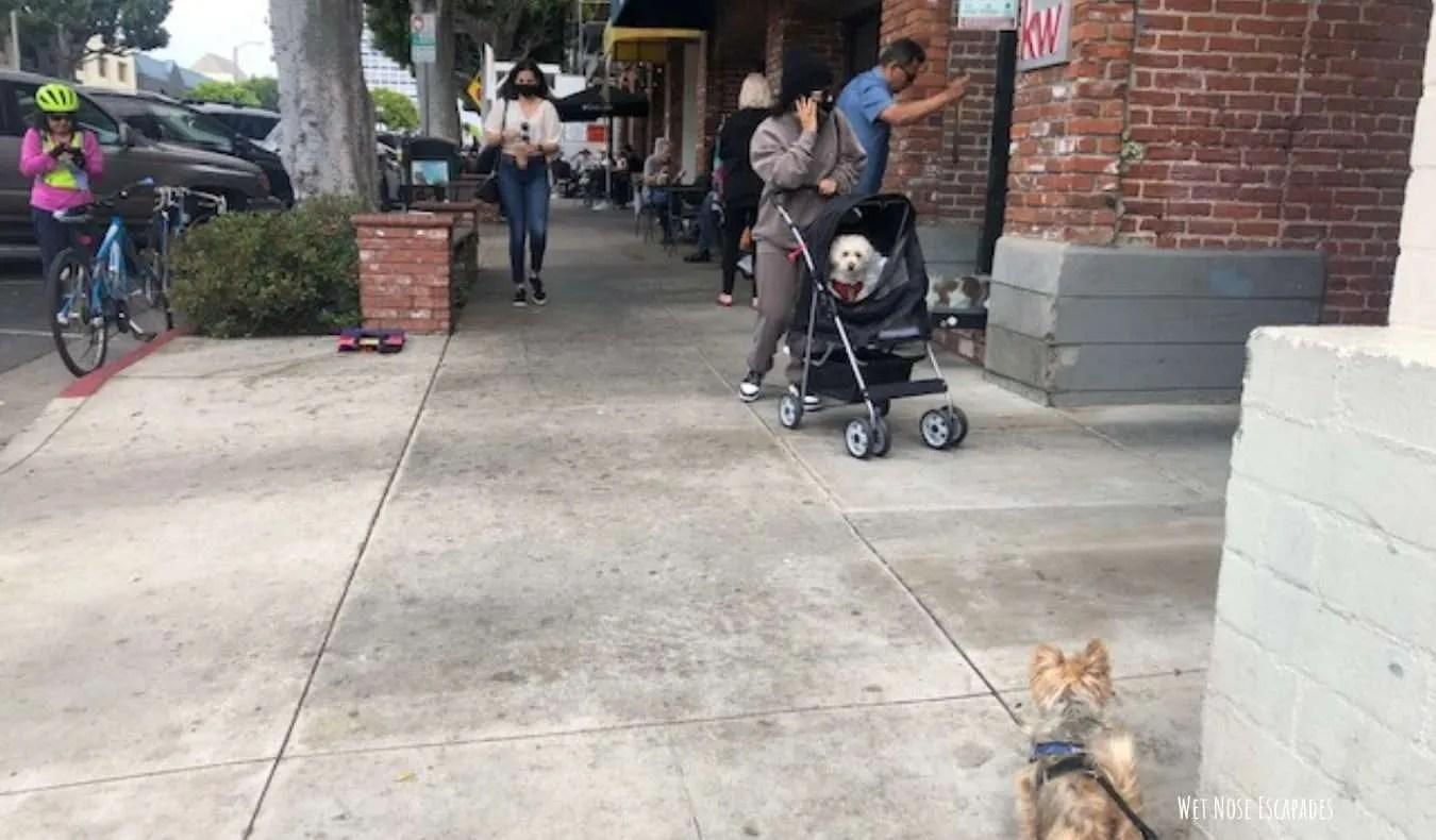 Yorkie dog exploring Larchmont Village in Los Angeles