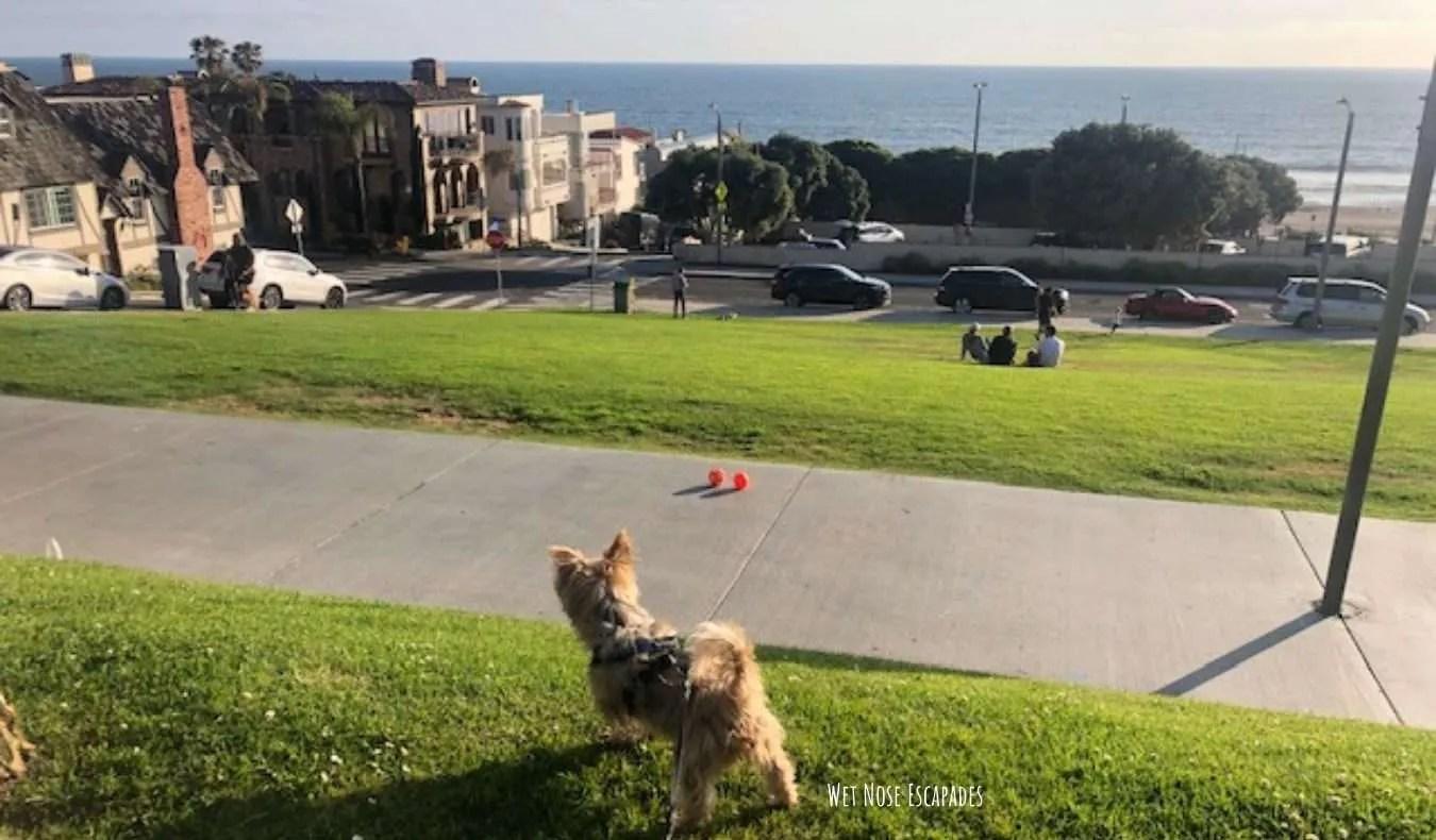 Yorkie Dog at Bruce's Beach in Manhattan Beach