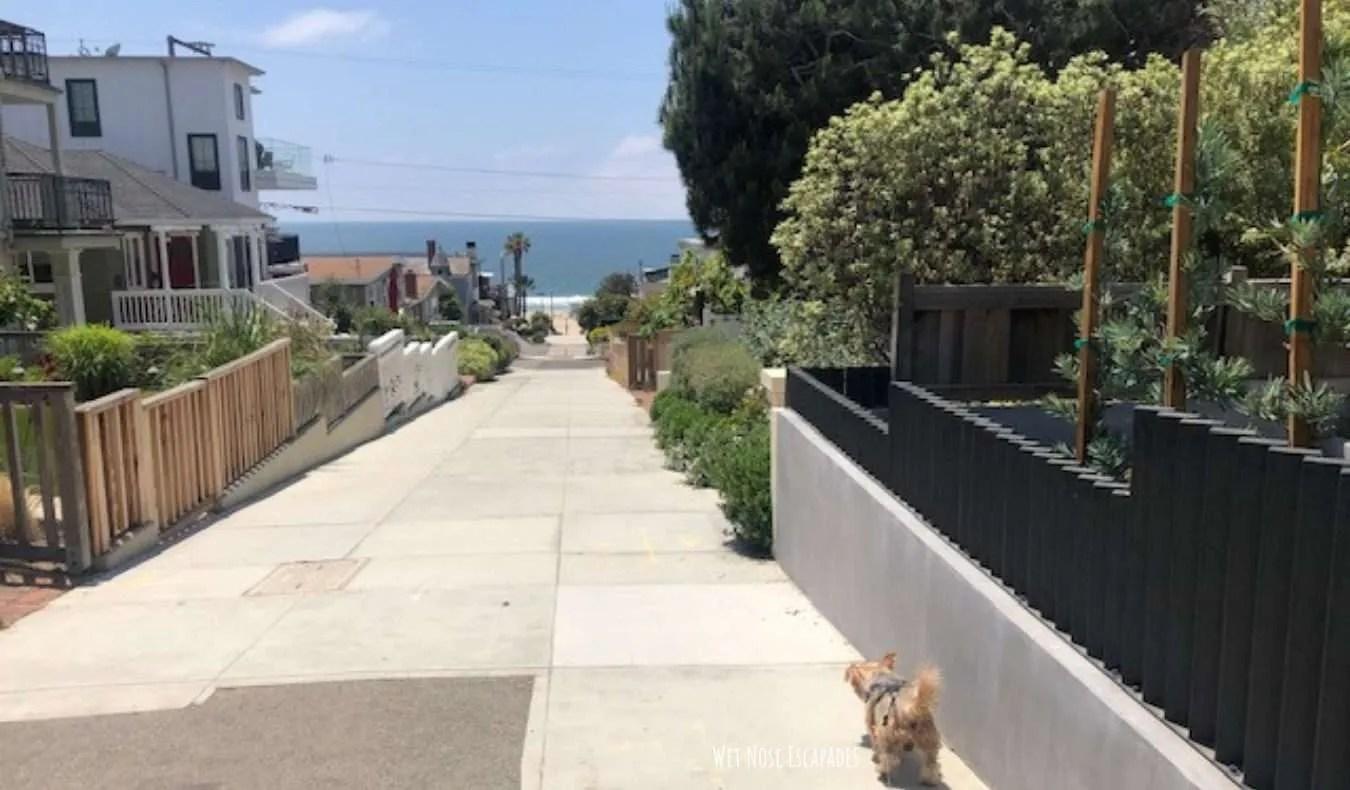 Yorkie Dog in Manhattan Beach, CA