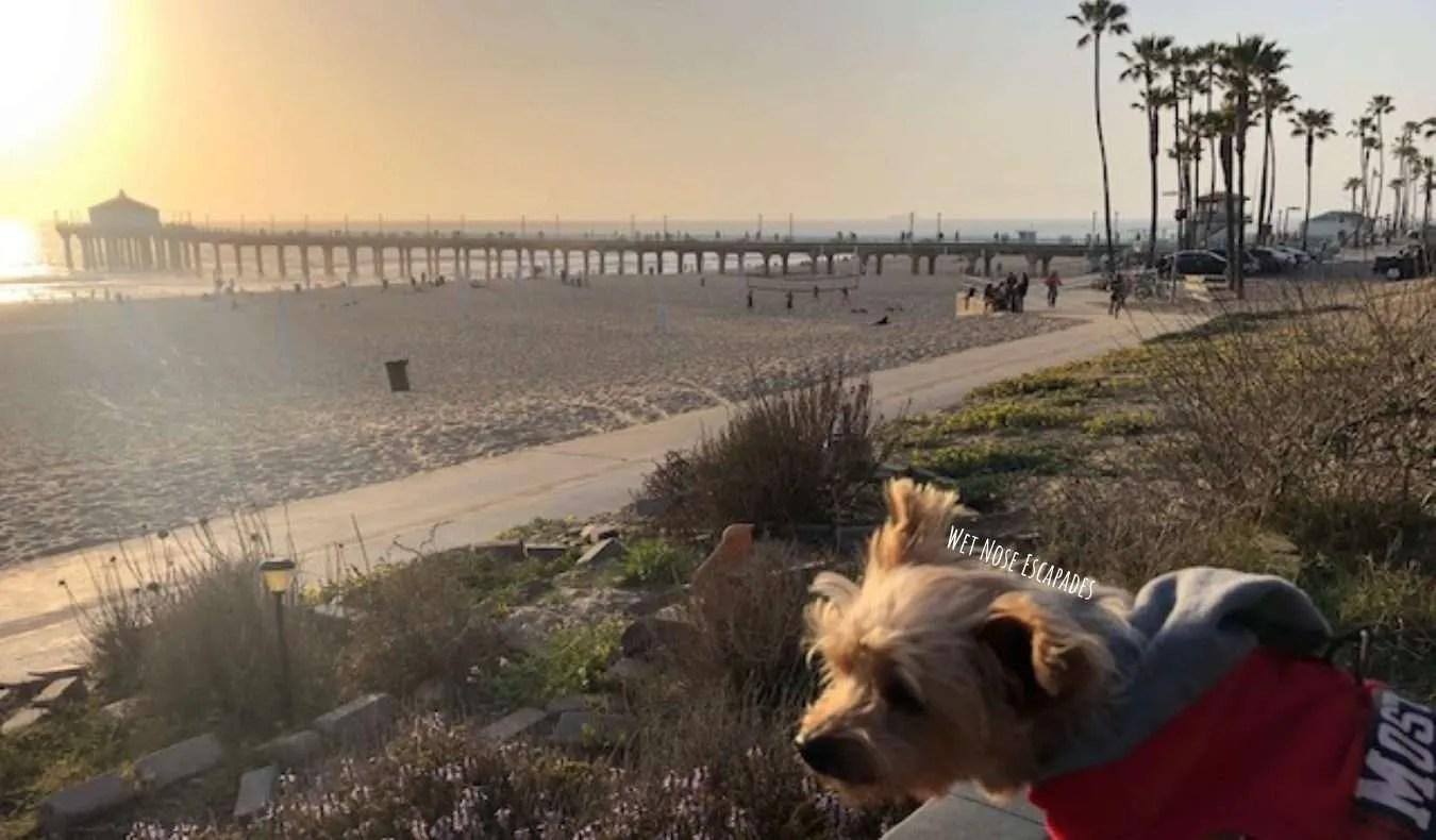 Yorkie Dog visiting dog-friendly Manhattan Beach, CA