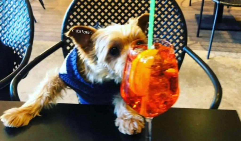 yorkie dog travels to Siena, Italy