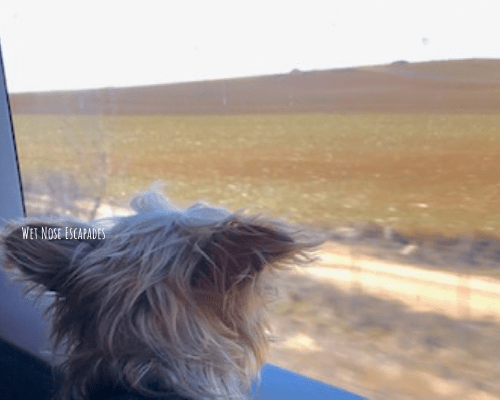 Yorkie Dog on Renfe train in Spain