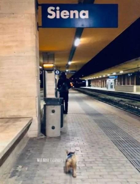 Yorkie dog on train to Siena, ITaly