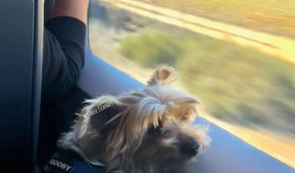Yorkie Dog riding public transportation in Spain