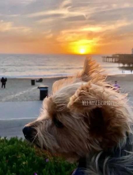 Yorkie dog watching sunset at dog-friendly Redondo Beach, California
