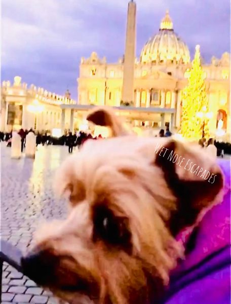 Yorkie dog at the vatican city