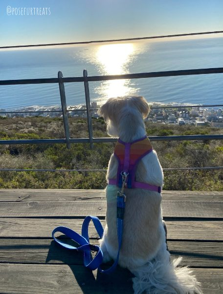 Dog-Friendly Cape Town: An Interview with Bella the South African Maltese