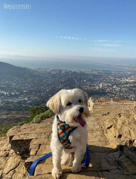 Dog-Friendly Cape Town: dog friendly hiking with a Maltese