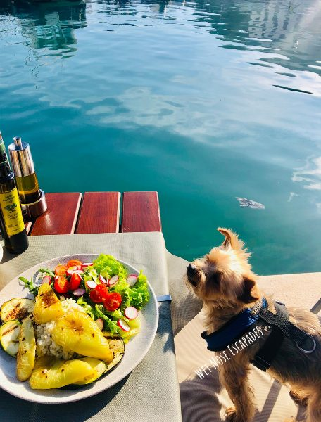 Yorkie Dog eating out at a dog-friendly restaurant in Croatia