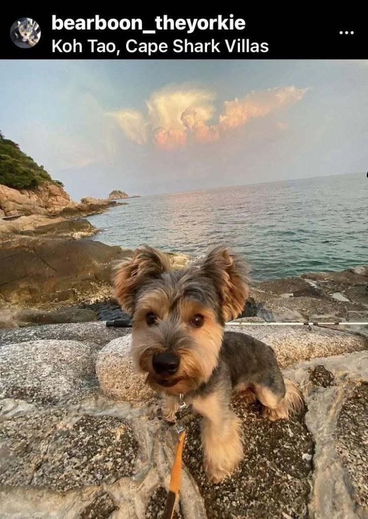 Yorkie dog at Koh Tao in Thailand
