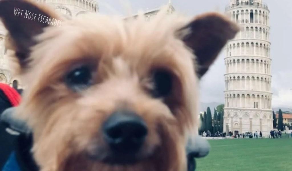 Yorkie dog at Pisa, Italy