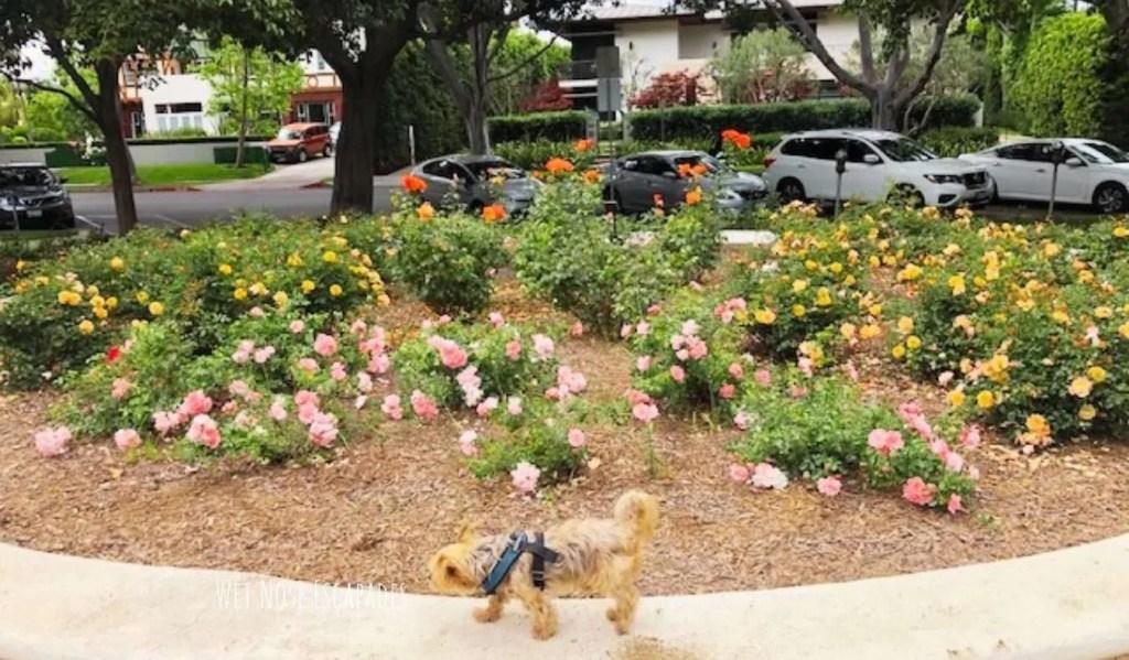 Yorkie dog at Beverly Gardens Park Beverly Hills