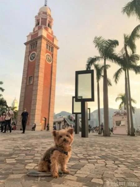 yorkie dog at hong kong clock tower