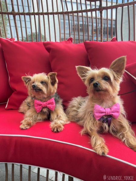 yorkie dogs in hong kong