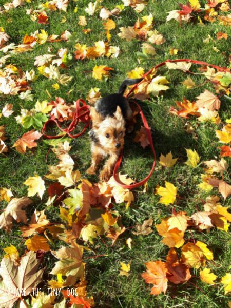 Dog-Friendly Ottawa: An Interview with Jake the Canadian Yorkie