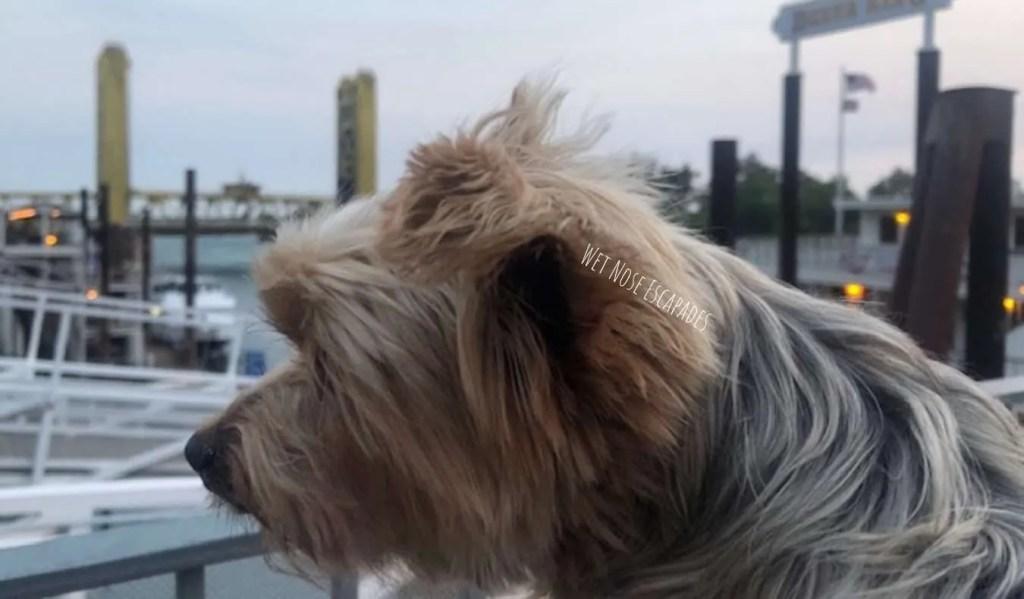 yorkie dog looking at tower bridge in sacramento