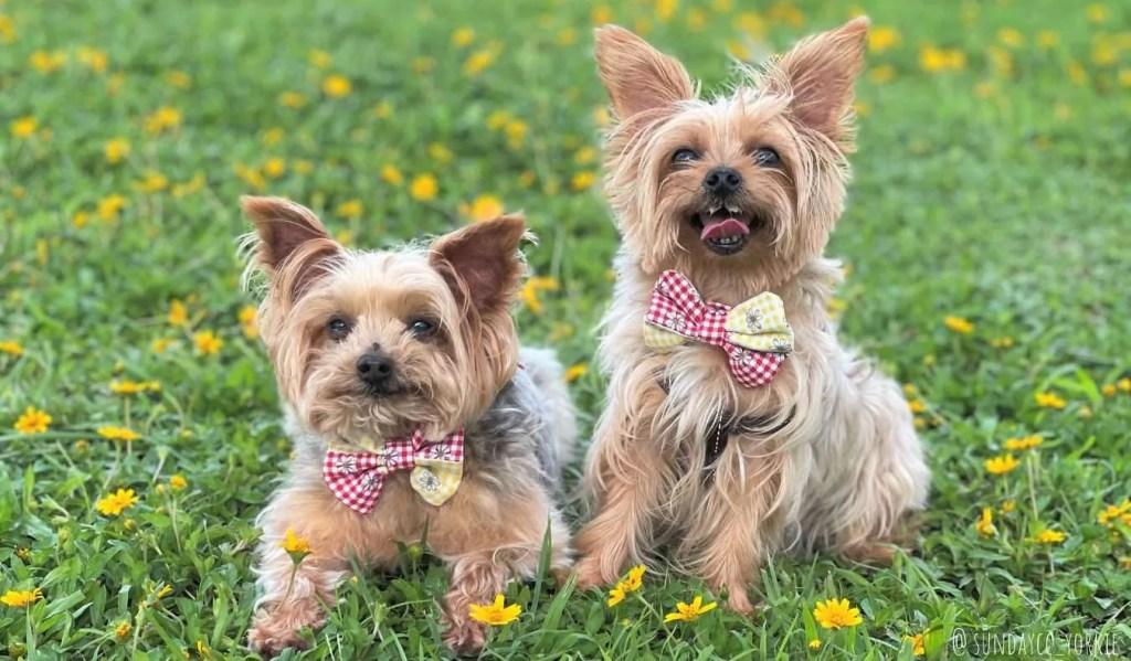 Yorkie dogs at Penfold Park, Hong Kong