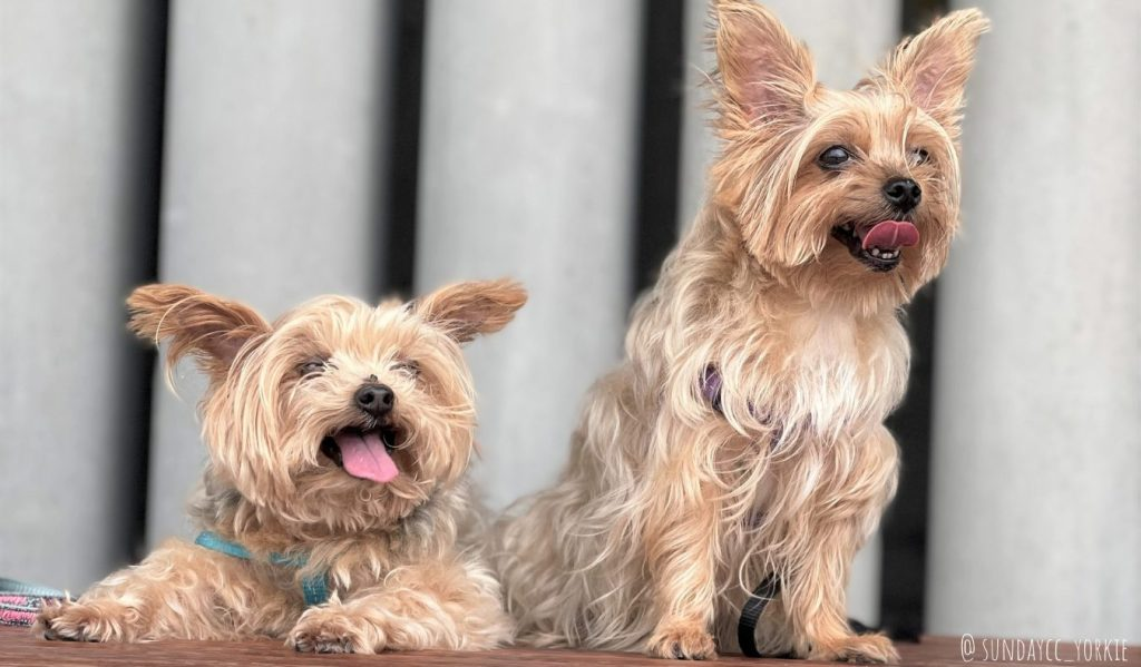 yorkie dogs in western kowloon cultural district