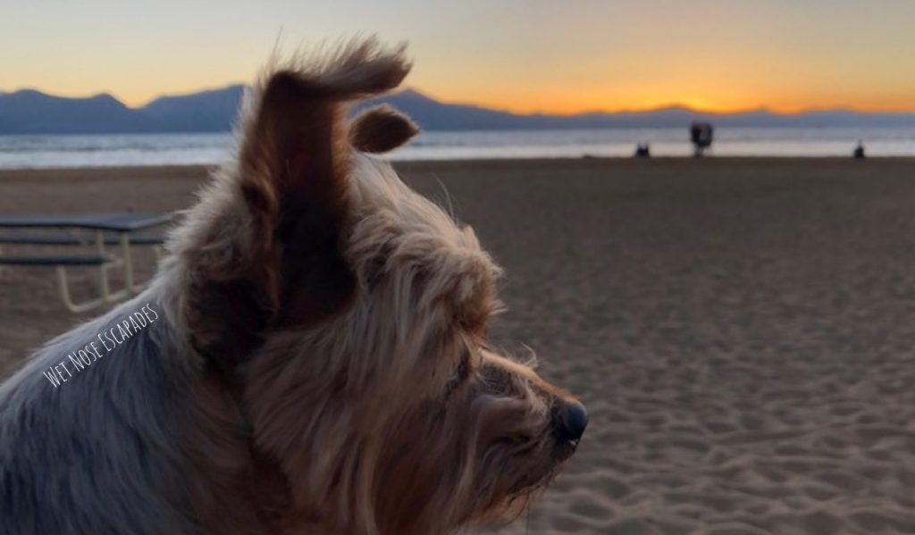yorkie dog at dog-friendly beach in south lake tahoe
