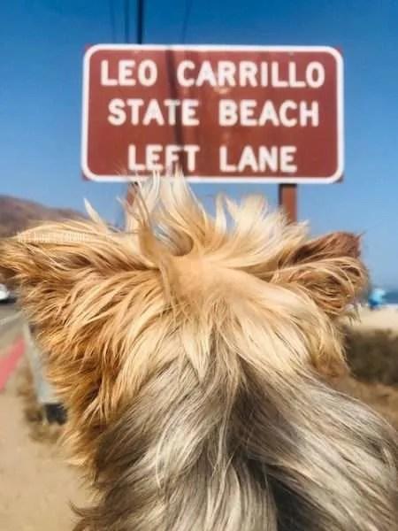 yorkie dog at dog friendly beach in malibu
