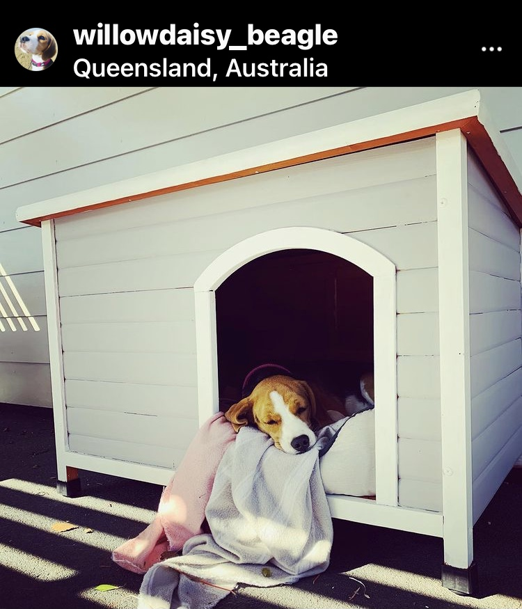 Dog-Friendly Mackay: An Interview with Willow Daisy, the Beagle from Queensland, Australia