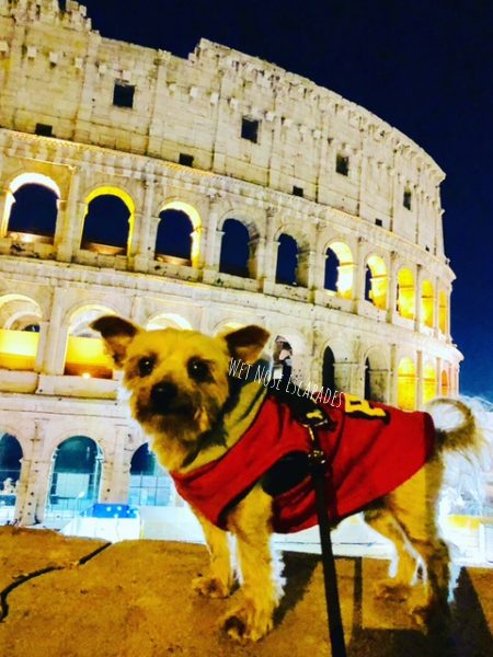 yorkie dog at dog-friendly Colosseum in rome, italy