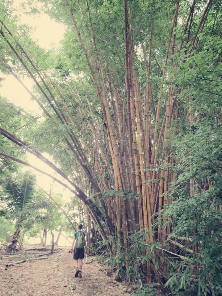 Großen Bambus gibt es auf Costa Rica des öfteren