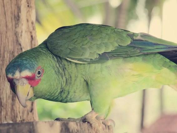 Papageien werden aus schlechter Haltung zur Station nach Isla Tortuga gebracht