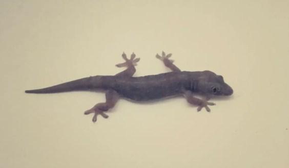 Gecko - Die Scheißen uns alles voll und sind die wohl schlechtesten Jäger die je gesehen habe