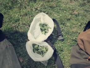 Unsere Guides waren immer fleißig dabei Coca-Blätter zu kauen