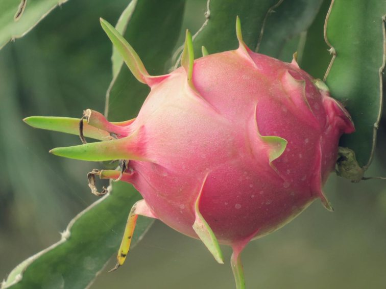 Draigonfruit