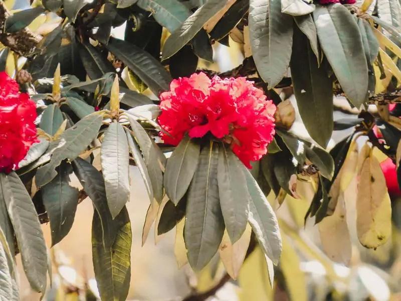 Annapurna Rhododendronblüte