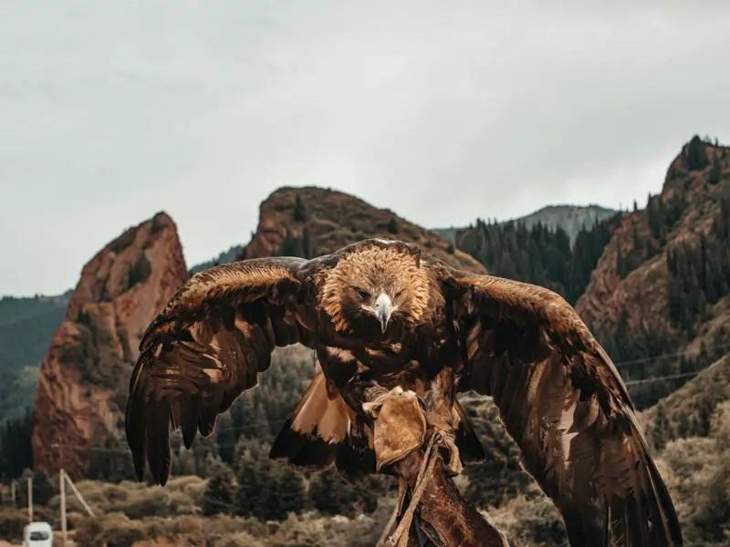 Gouden adelaar in Kirgizië