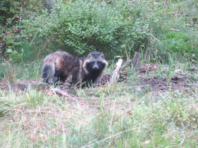 marderhund estland alutaguse