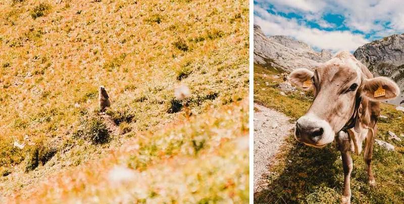 Prättigauer Höhenweg Murmeltier