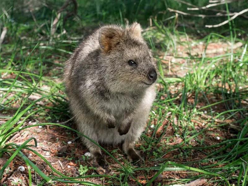 Australien Westküste Rottnest Island und Quokkas