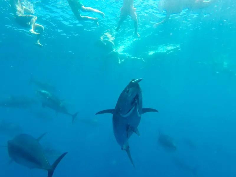 thunfisch-schwimmen_05