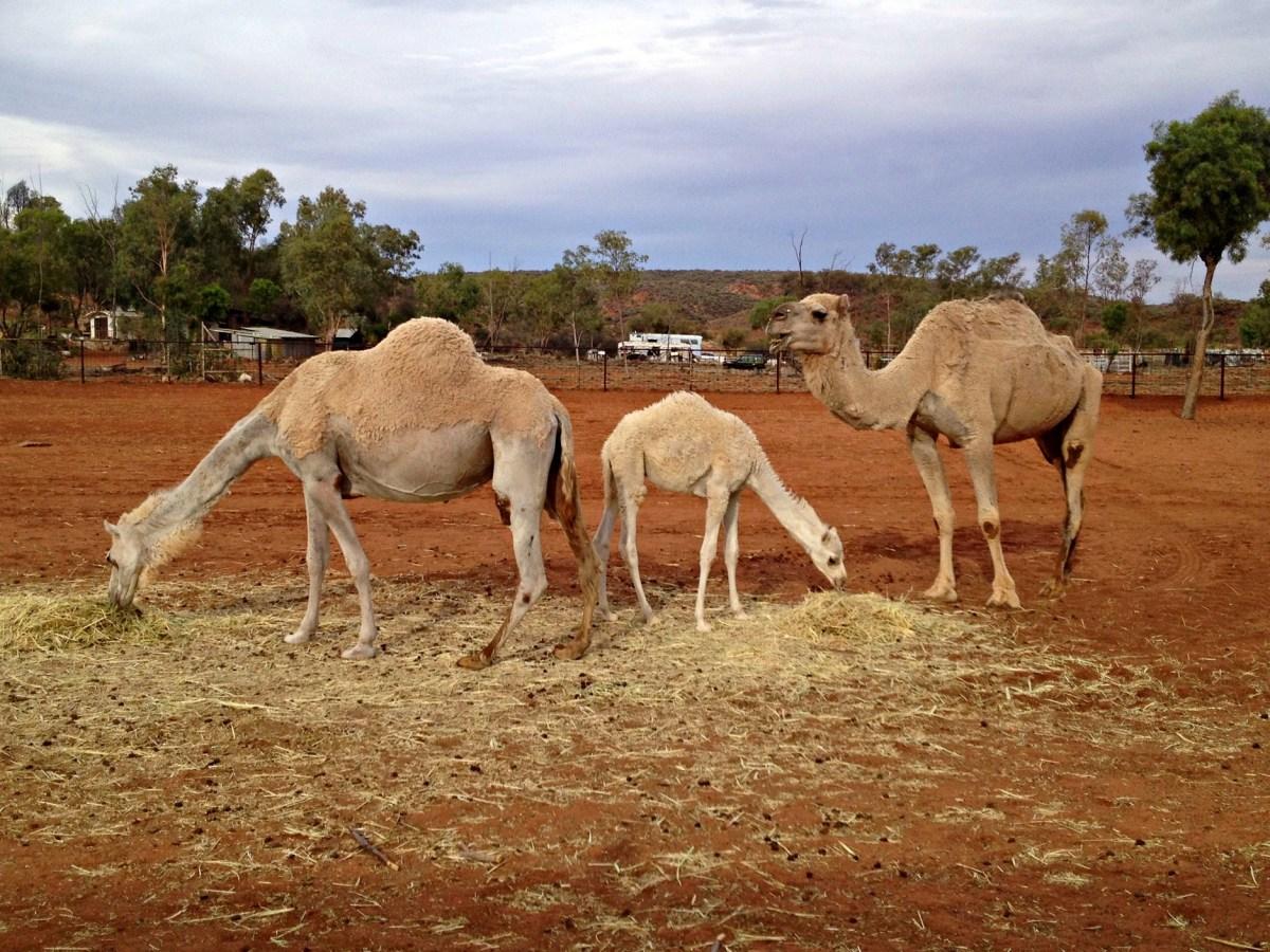 Kamele im Outback
