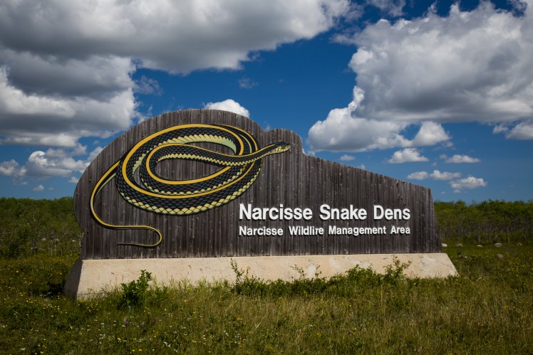 The Narcisse Snake Dens is where tens of thousands of garter snakes gather each year.