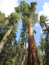A couple of sequoia trees