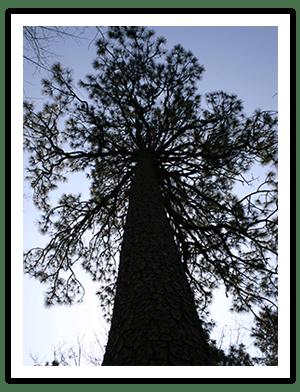 long leaf pine tree