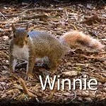 Winnie the irreverent Wake Forest News advice squirrel.