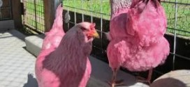 Oregon's pink chicken mystery solved; owner explains