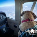 Festus on a recent flight with Pilot.dog